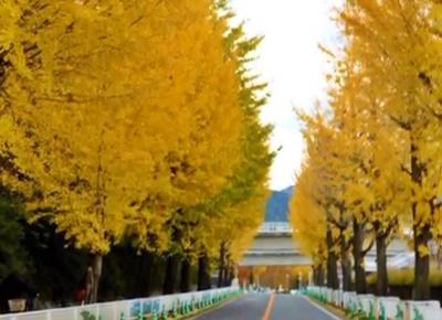 奈良の銀杏並木なら天理 おすすめポイントやアクセス