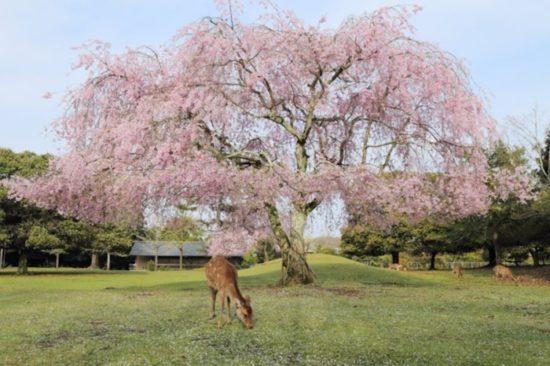 奈良公園の桜の名所を地図でチェック 見ごろは?奈良九重桜って?