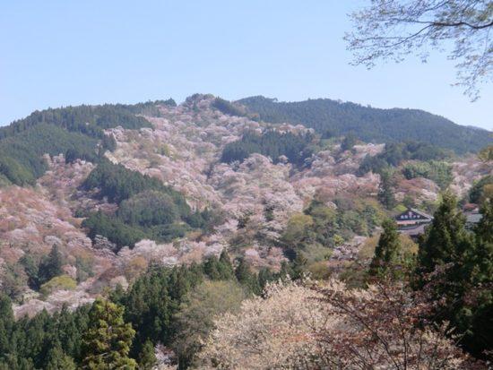 吉野山の桜に足の具合が悪い方には タクシーがおすすめです