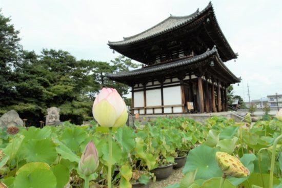 喜光寺の蓮の見ごろとアクセス 早朝がおすすめです。