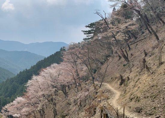 西行庵 桜